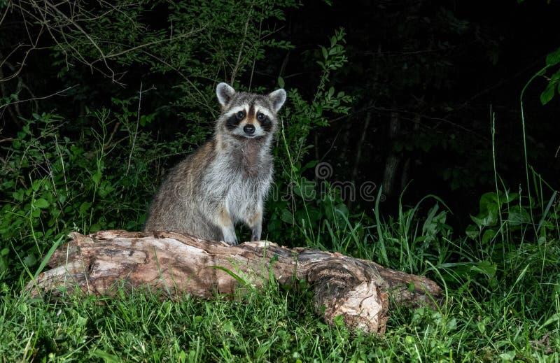 Енот на ноче стоковая фотография rf