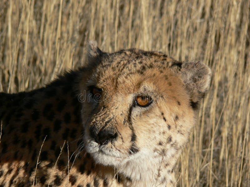 леопард травы высокорослый стоковые фото