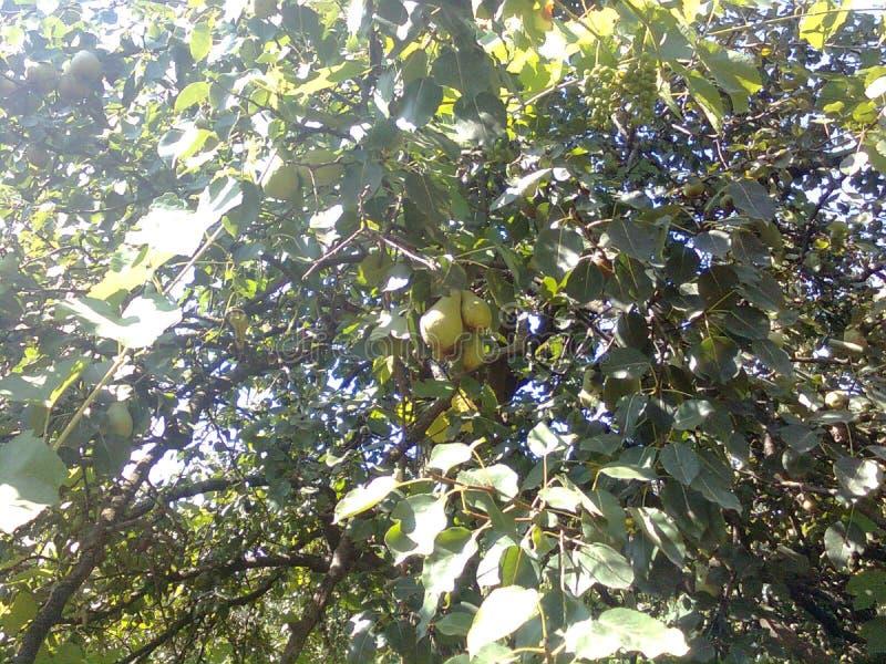 дерево friut стоковые фото
