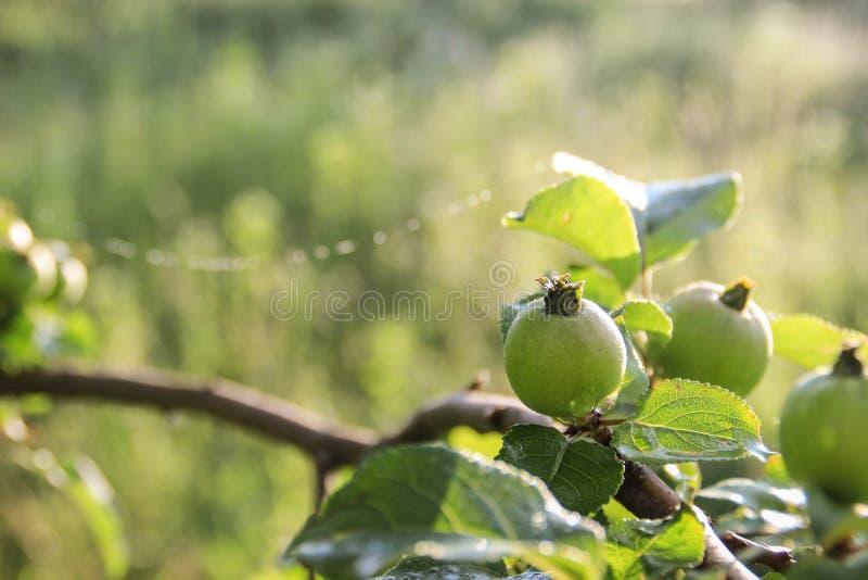 Естественная дружественная к эко предпосылка с молодыми дикими зелеными яблоками на ветви в предыдущей весне стоковое изображение rf