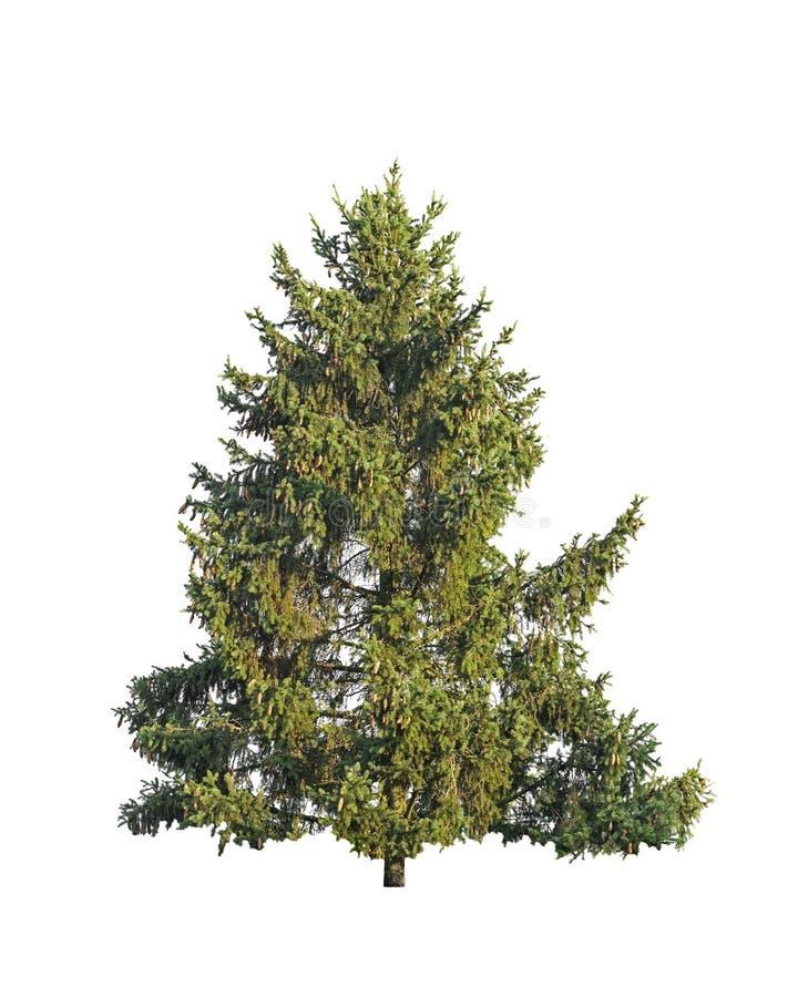 Естественная зеленая ель изолированная на белизне стоковое изображение rf