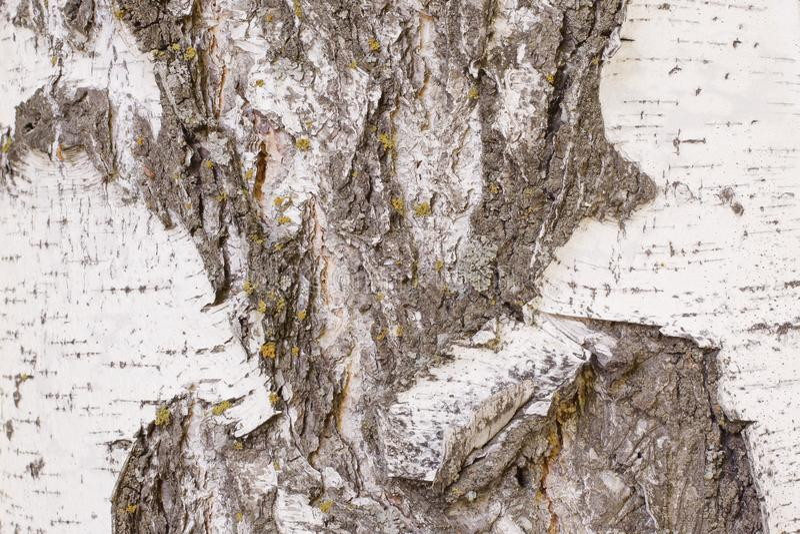Естественная картина на старой поврежденной коре березы Глубокие отказы с отрывом верхнего слоя коры с желтым лишайником напольно стоковое изображение rf