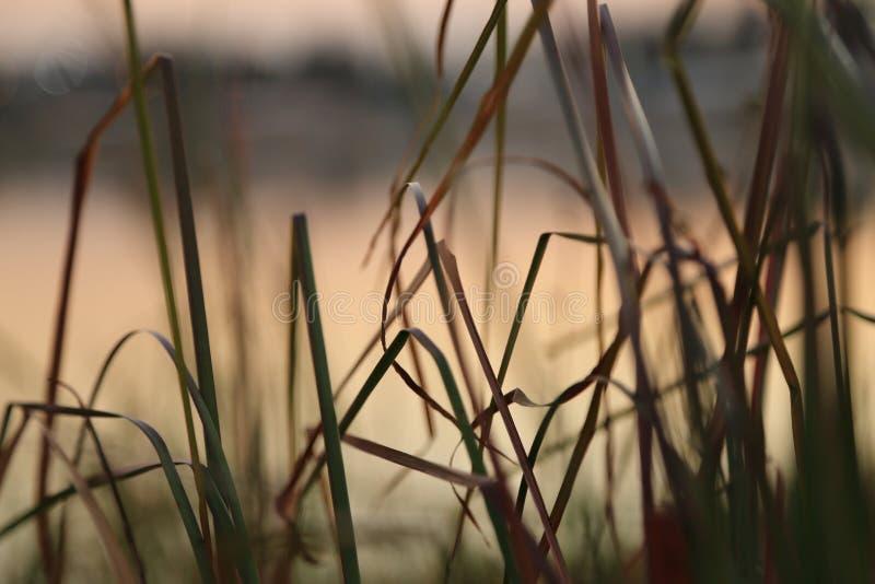 Естественная предпосылка травы reeds завод с неподвижной водой в озере стоковая фотография