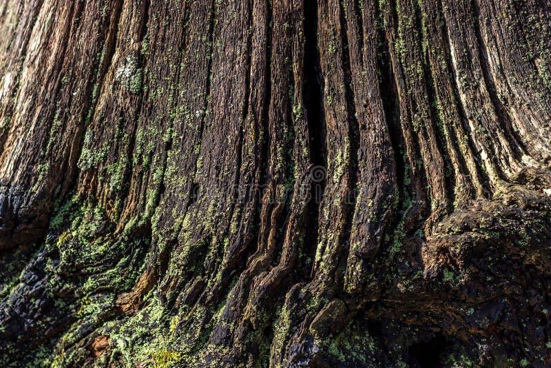 Естественная предпосылка тухлой древесины на очень старых пнях дерева Текстура старых пней стоковое фото rf