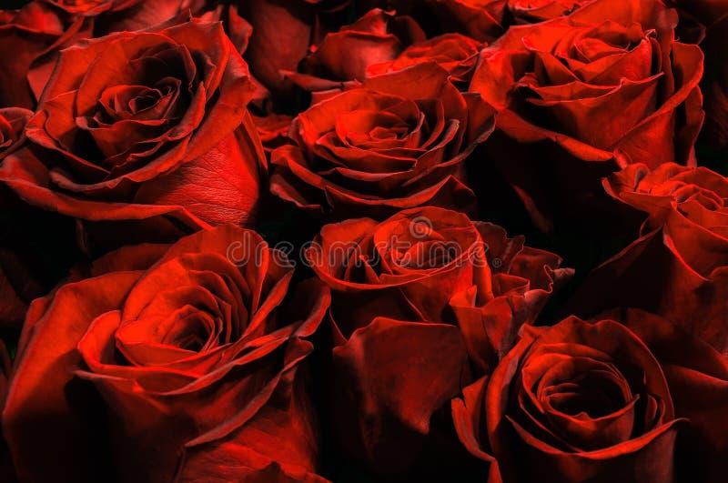 Естественная предпосылка красных роз стоковые фотографии rf