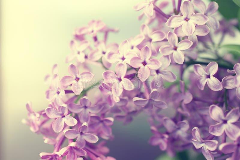 Естественная предпосылка с цветками сирени стоковые фотографии rf