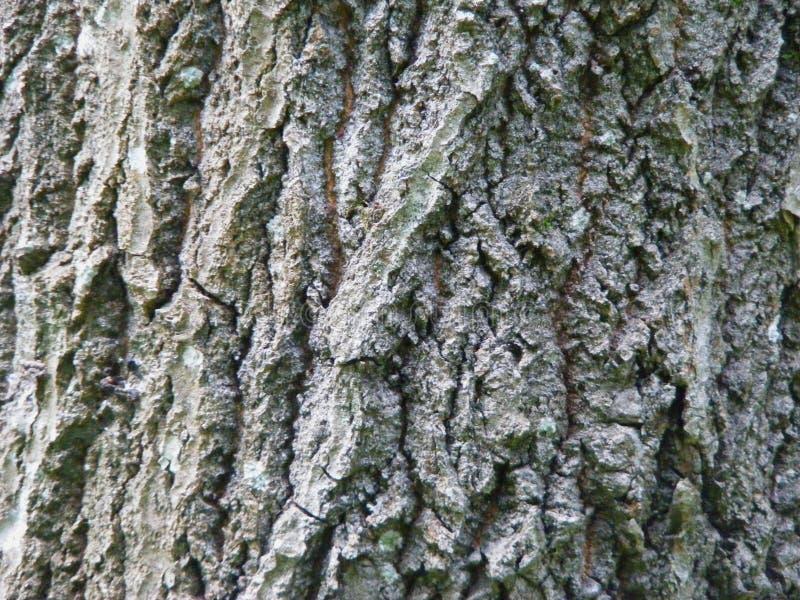 Естественная расшива дерева asp стоковое фото rf