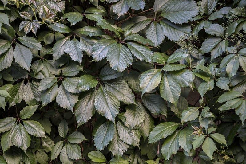 Естественная текстура girlish виноградин выходит близкий вверх стоковое фото rf