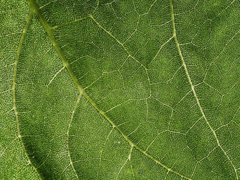 Естественная яркая предпосылка сочной зеленой текстуры лист с trans стоковые фото