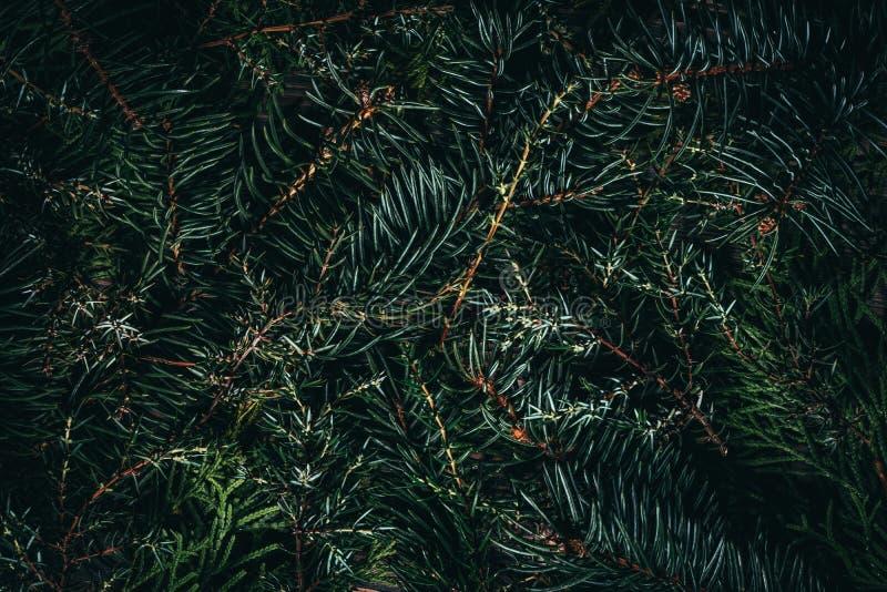 Естественная coniferous текстура завода Зеленые ветви спруса, можжевельника и елей стоковые изображения rf