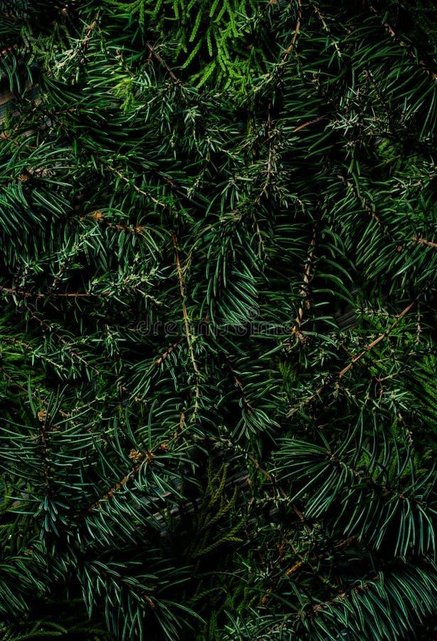 Естественная coniferous текстура завода Зеленые ветви спруса, можжевельника и елей стоковое изображение