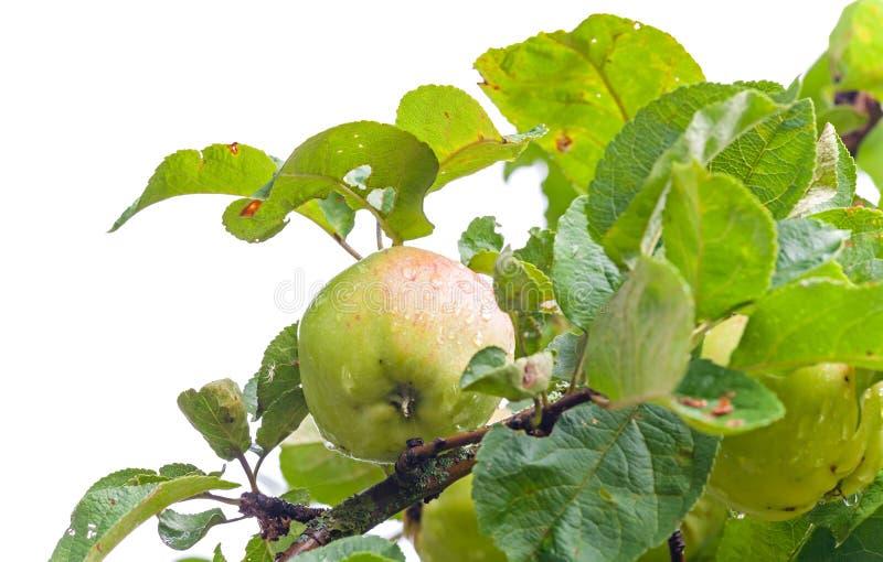 Естественное влажное зеленое яблоко изолированное на белизне стоковое изображение