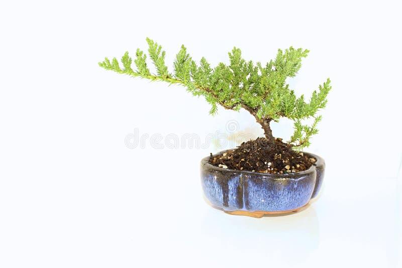 Естественное дерево бонзаев можжевельника в голубом баке стоковые фотографии rf