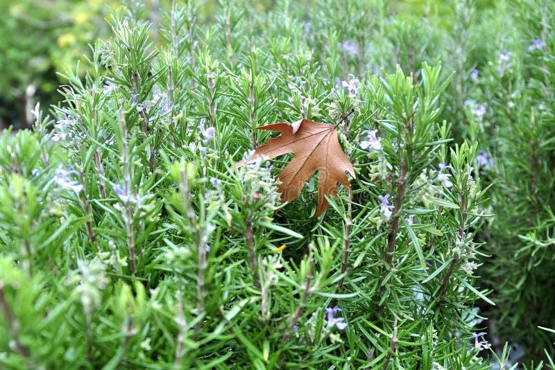 Естественное одичалое розмариновое масло с лист mapple осени стоковое фото rf