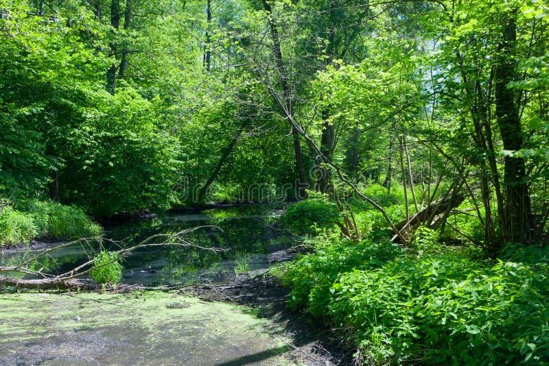 Естественное река Lesna в полдне лета стоковые фотографии rf