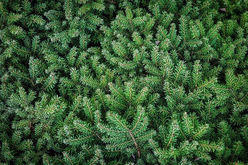 Естественные ветви сосны с реальным заморозком - предпосылкой стоковое изображение rf