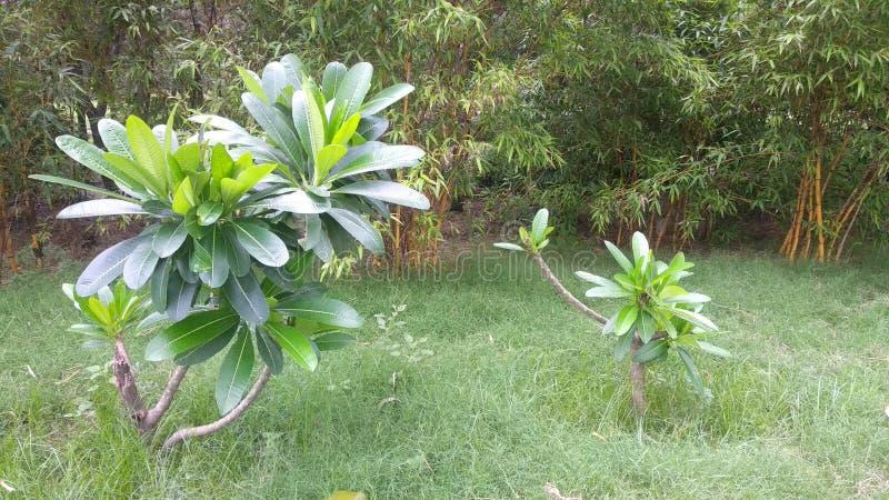 Естественные зеленые лист сада, дерево, заводы, эпидермис лист, который непрерывн с эпидермисом стержня стоковая фотография rf