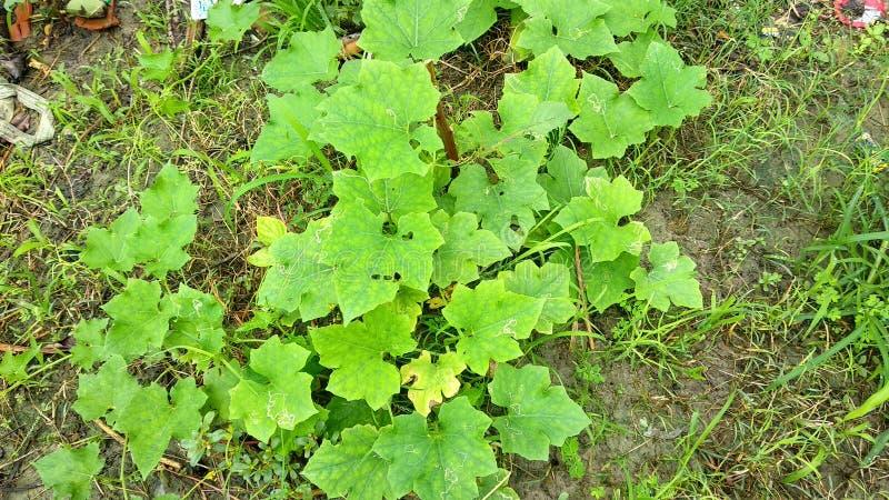 Естественные зеленые лист сада, дерево, заводы, эпидермис лист, который непрерывн с эпидермисом стержня стоковое изображение rf