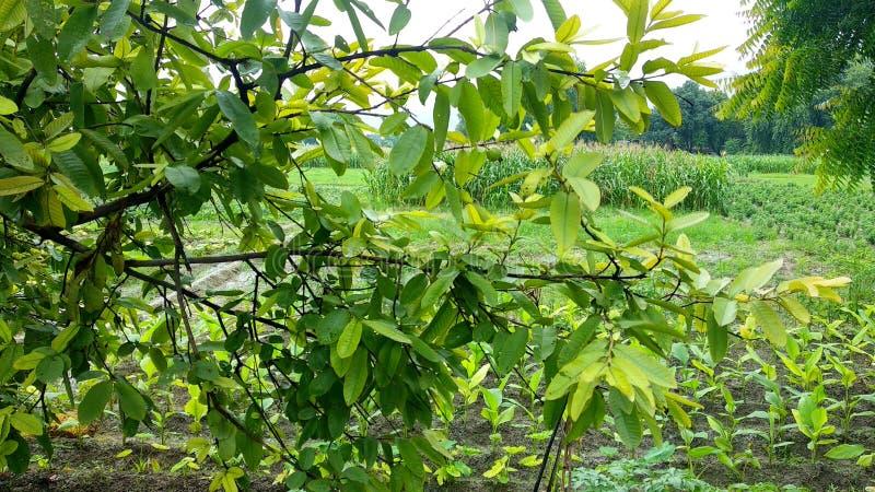 Естественные зеленые лист сада, дерево, заводы, эпидермис лист, который непрерывн с эпидермисом стержня стоковое фото rf