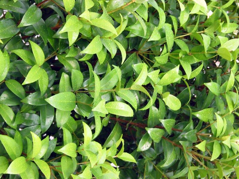 Естественные зеленые лист с каплей росы стоковые фотографии rf