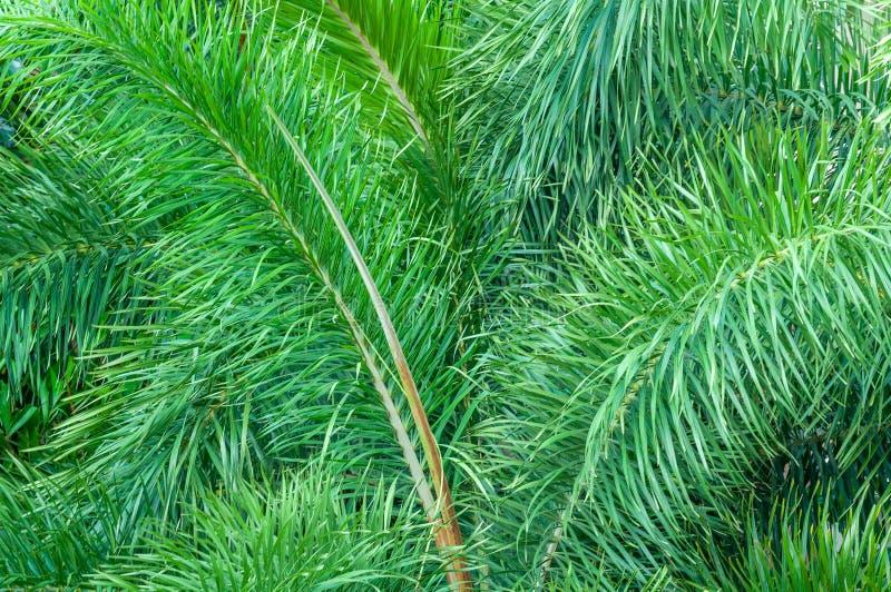 Естественные предпосылки тропические, зеленые листья Толстые зеленые чащи, джунгли стоковые фото