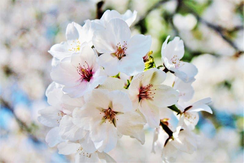 Естественный вишневый цвет весной стоковое фото rf