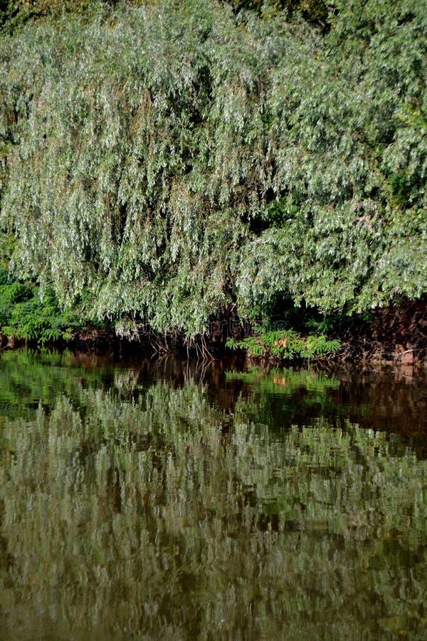 Естественный лес деревьев вербы стоковое фото