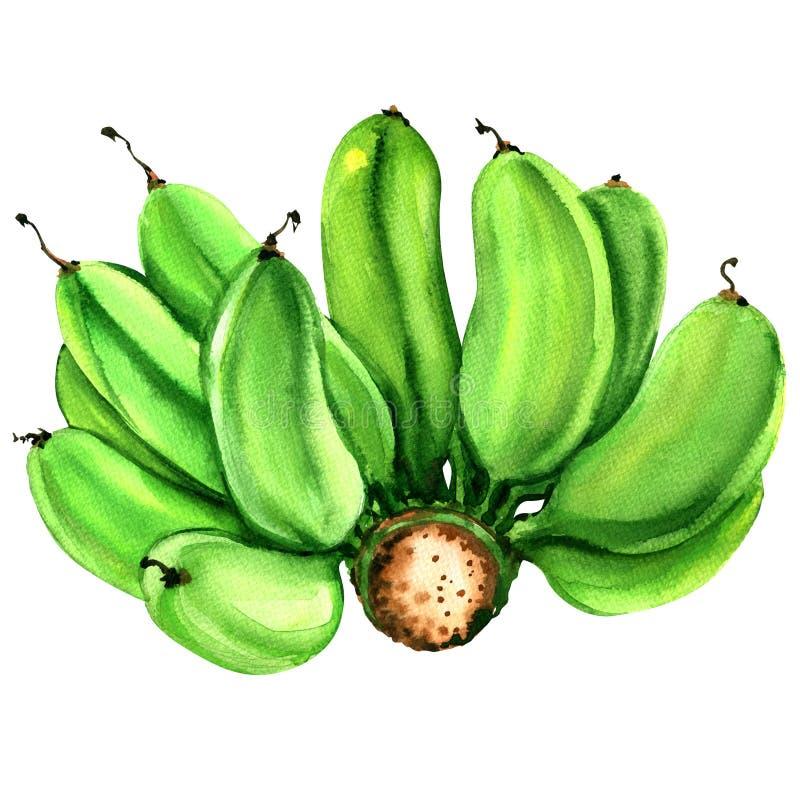 Естественный пук зеленых сырцовых культивируемых изолированных бананов, иллюстрация акварели бесплатная иллюстрация