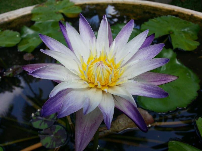 Естественный цветок лилии воды цвета смешивания Шри-Ланка стоковое изображение