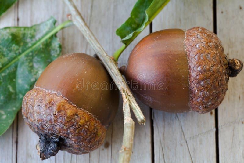 2 естественных жолудя стоковые фото