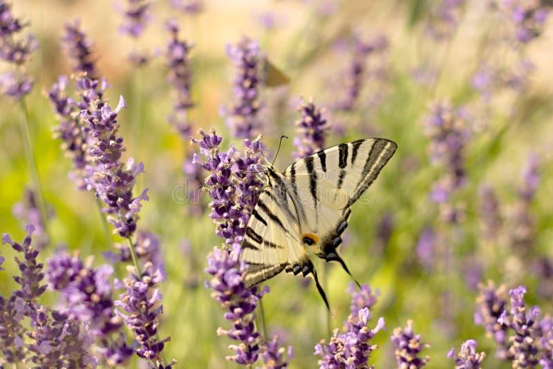 детализированный высоки вектор swallowtail podalirius iphiclides иллюстрации вряд стоковое фото