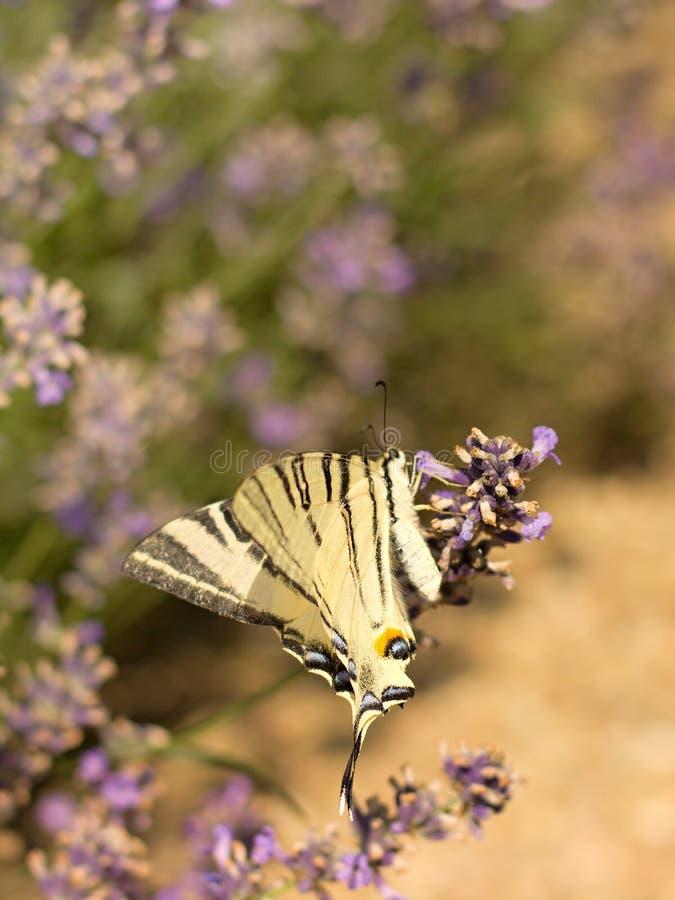 детализированный высоки вектор swallowtail podalirius iphiclides иллюстрации вряд стоковое изображение rf