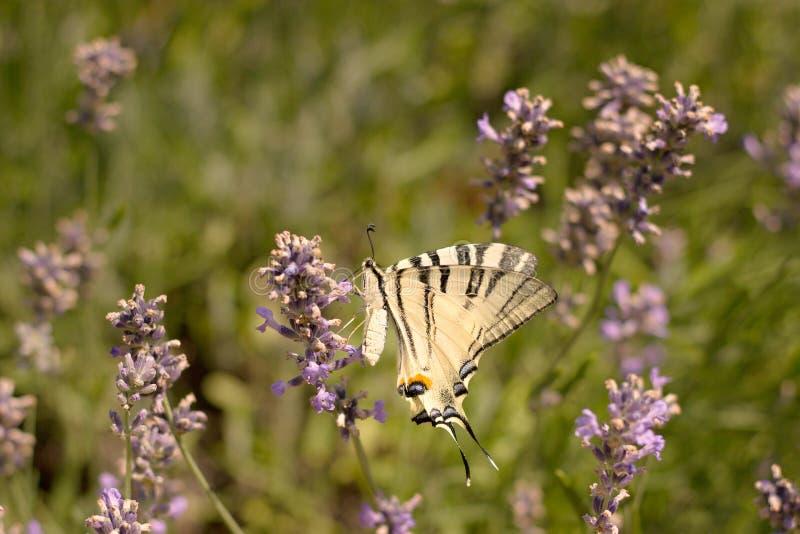 детализированный высоки вектор swallowtail podalirius iphiclides иллюстрации вряд стоковое фото rf