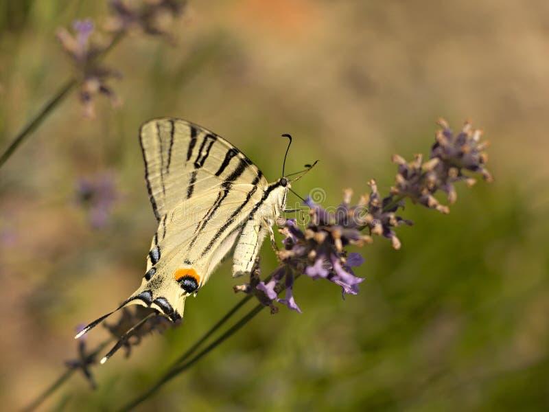 детализированный высоки вектор swallowtail podalirius iphiclides иллюстрации вряд стоковые изображения
