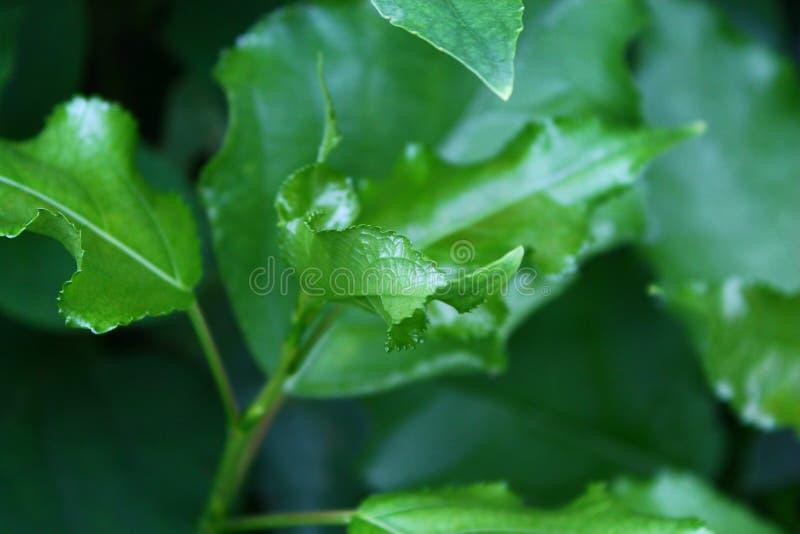 детеныши вала Канады ботаники бука стоковое изображение