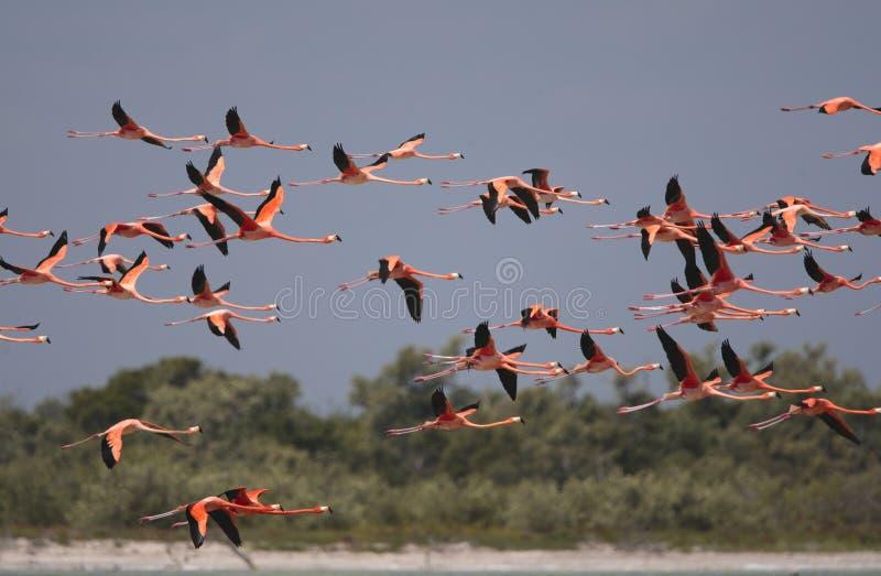 Ехал фламинго, американский фламинго, ruber Phoenicopterus стоковые фото