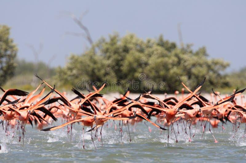 Ехал фламинго, американский фламинго, ruber Phoenicopterus стоковое изображение rf