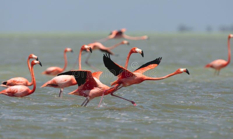 Ехал фламинго, американский фламинго, ruber Phoenicopterus стоковое фото