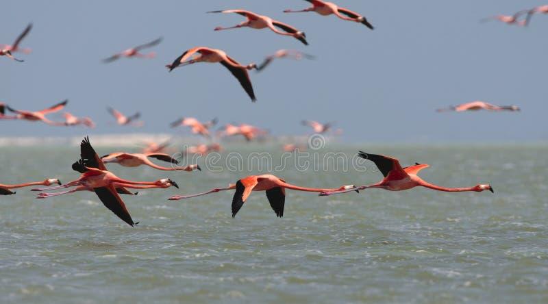 Ехал фламинго, американский фламинго, ruber Phoenicopterus стоковые изображения