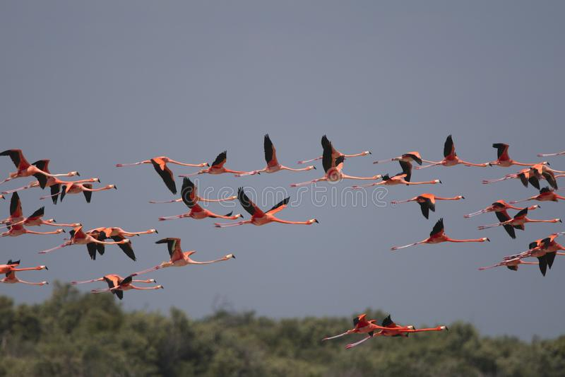 Ехал фламинго, американский фламинго, ruber Phoenicopterus стоковая фотография