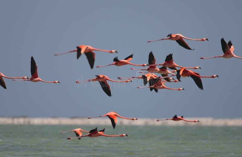 Ехал фламинго, американский фламинго, ruber Phoenicopterus стоковая фотография rf