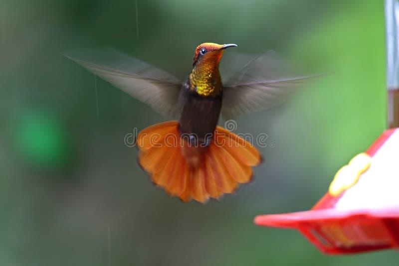 Ехал Kolibrie, рубиновый колибри топаза, mosquitus Chrysolampis стоковые изображения