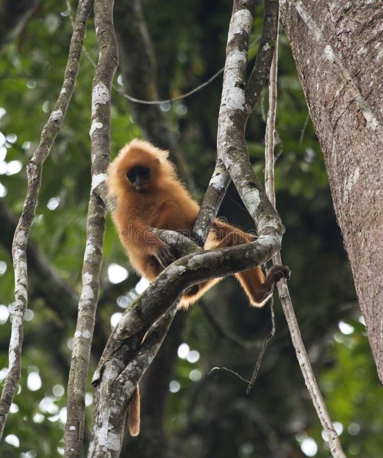 Ехал Langoer, красная обезьяна лист, rubicunda Presbytis стоковая фотография rf