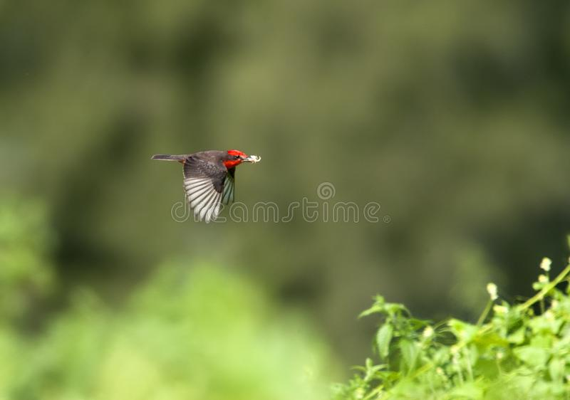 Ехал Tiran, Vermilion мухоловка, rubinus Pyrocephalus стоковые фото