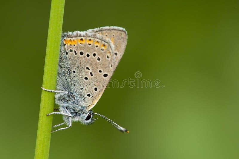 Ехал vuurvlinder, Фиолетов-окаимленная медь, hippothoe голубянок стоковые фотографии rf