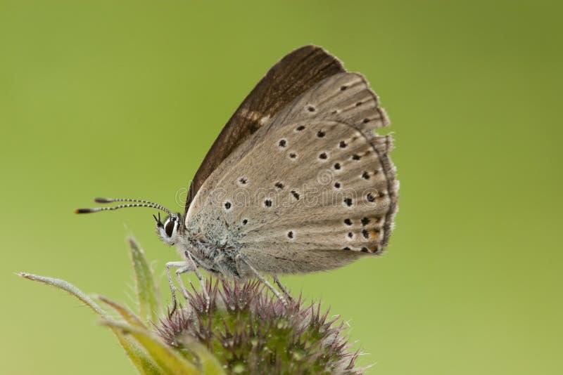 Ехал vuurvlinder, Фиолетов-окаимленная медь, hippothoe голубянок стоковые фото