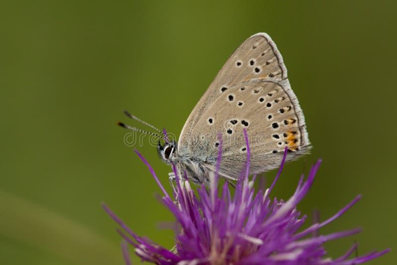 Ехал vuurvlinder, Фиолетов-окаимленная медь, hippothoe голубянок стоковые изображения