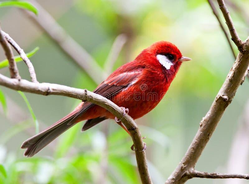 Ехал Zanger, красная певчая птица, rubra Cardellina стоковые изображения