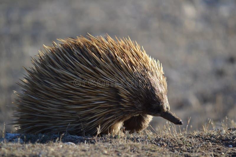 Ехидна на острове кенгуру стоковые фотографии rf