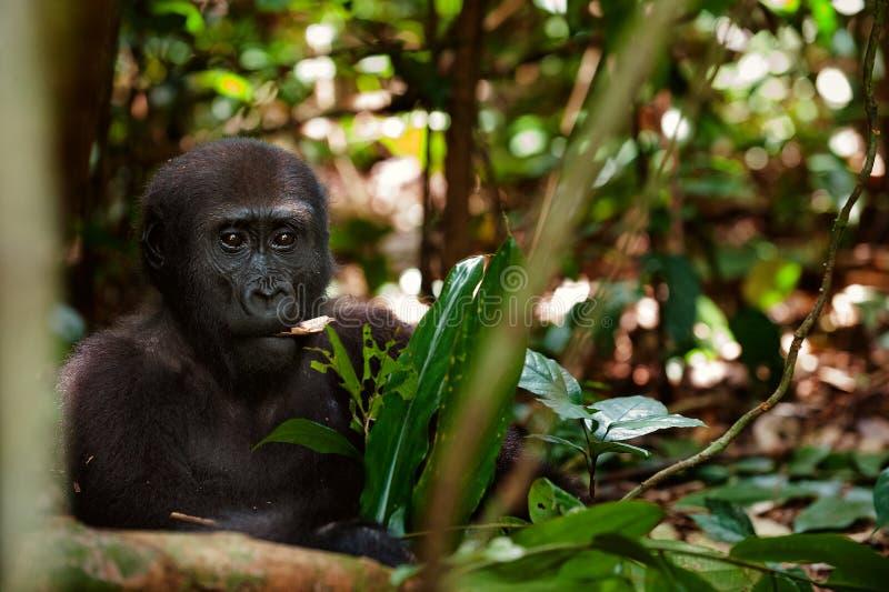 Еда гориллы стоковое изображение rf